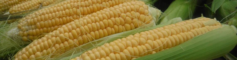 Africa Sourcing Exportateur Maïs